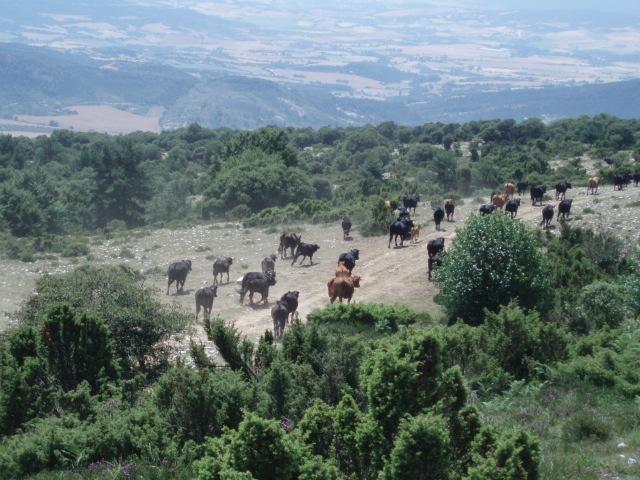 Vacas pastando en la sierra de Arkamo